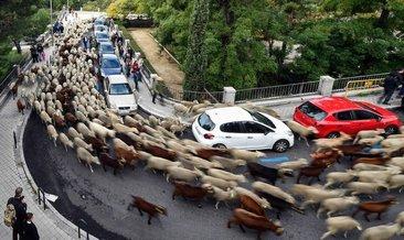 Koyunlar şehre indi!