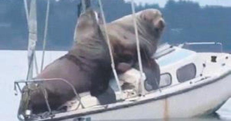 Denizaslanları teknede keyif yaptı