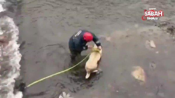 Ordu'da buz gibi suda mahsur kalan çoban köpeğini itfaiye ekipleri kurtardı | Video