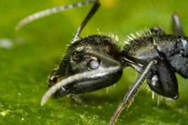Karıncalar hakkında şaşırtan bilgiler