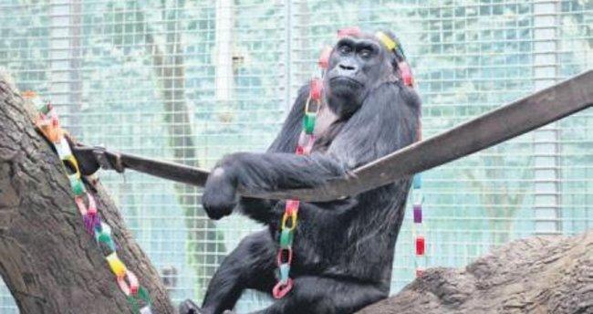 En yaşlı gorilin torunu doğurdu