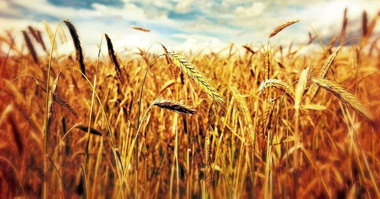 Rüyada buğday görmek: Buğday tarlası, başağı ya da tanesi görmek ne demektir?