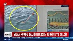 Türkiye'de ilk defa görüntülendi! ÇanakkaleBoğazı'nda görenleri şaşkına çeviren  'Yılan kurdu balığı' kamerada...