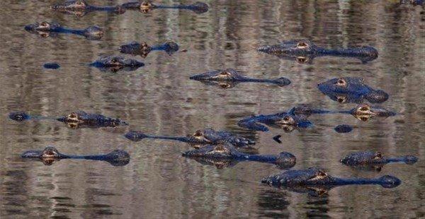 Yüzlerce timsah karaya çıktı