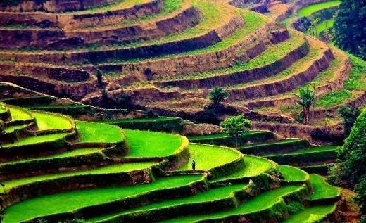 Büyüleyici pirinç tarlaları