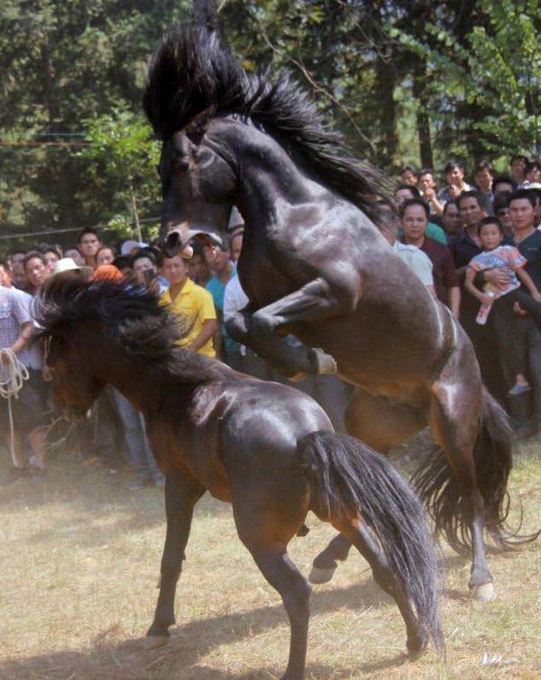 Görenleri şok eden spor: At güreşi