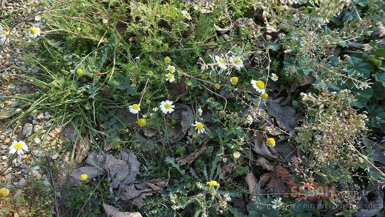 Sarıgöl'de baharın habercisi papatyalar kış ayında çiçek açtı