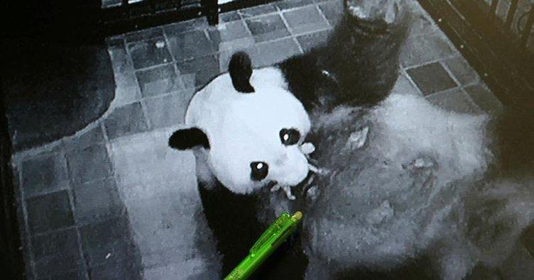 Dev panda Şin Şin doğurdu