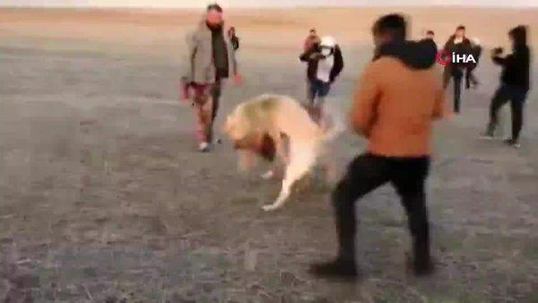 Konya'da vahşet görüntüleri! Dövüş adı altında köpekleri birbirine parçalattılar | Video