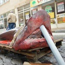 Lüleburgaz'da yarım tonluk köpek balığı yakalandı