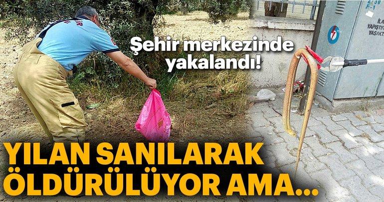 Balıkesir'de şehir merkezinde 'oluklu kertenkele' yakalandı