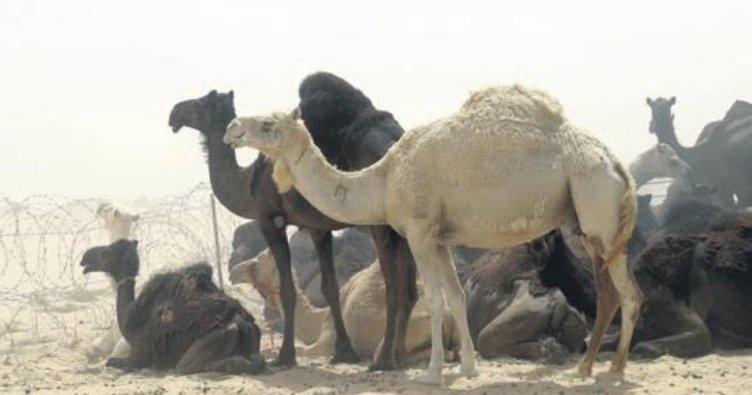 Katar'a ait 15 bin deveyi sınır dışı ettiler