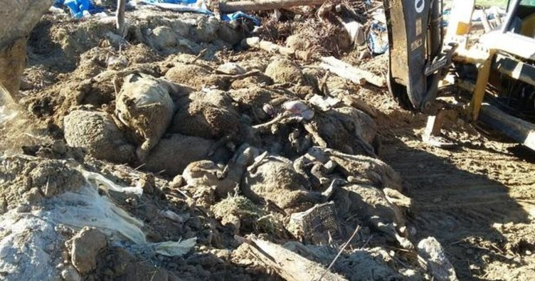 Ağıl çöktü, 470 koyun telef oldu