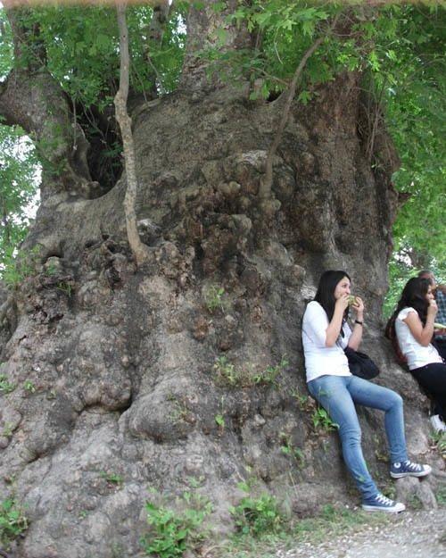Bu ağaç Hz. Musa'nın asası mı?
