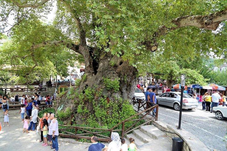 3 bin yıllık Musa Ağacı