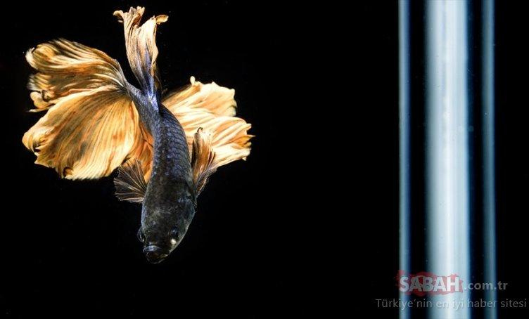 Güzellikte sınır tanımayan Betta balıkları