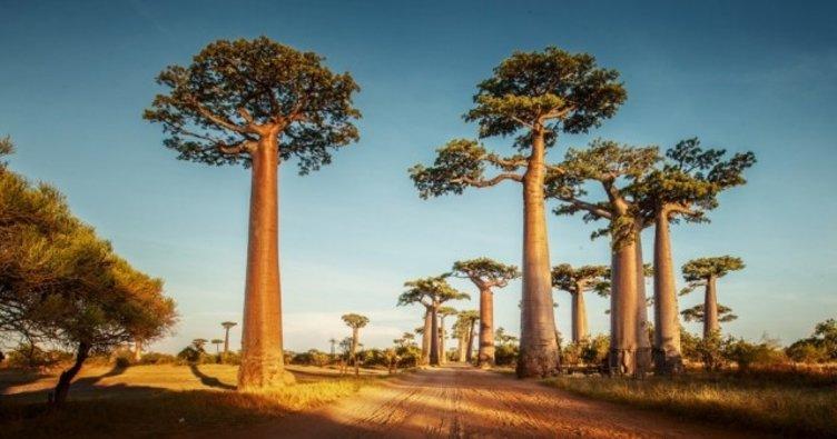 Tarihi Baobab ağaçları bilim dünyasını şaşırttı