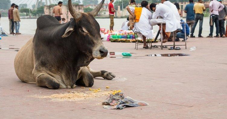 Hindistan'da inek bakanlığı açılıyor