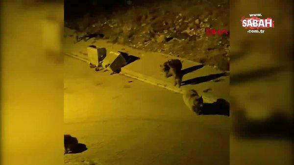 Kars Sarıkamış sokaklarına inen ayılar kamerada | Video