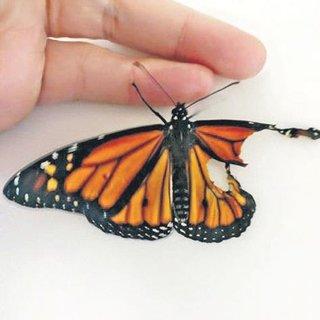 Kanadı kırık kelebeğe ameliyat