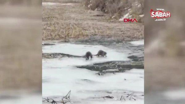 Karabük Safranbolu'da su samurlarının balık kavgası kamerada!
