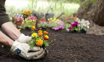 Kadife çiçeği bakımı, özellikleri ve renkleri: Kadife çiçeği faydaları nelerdir?