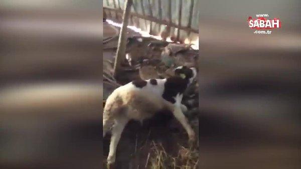 Kırşehir'de ahırda yürekleri yakan görüntü! Telef olay hayvanlar böyle bulundu...