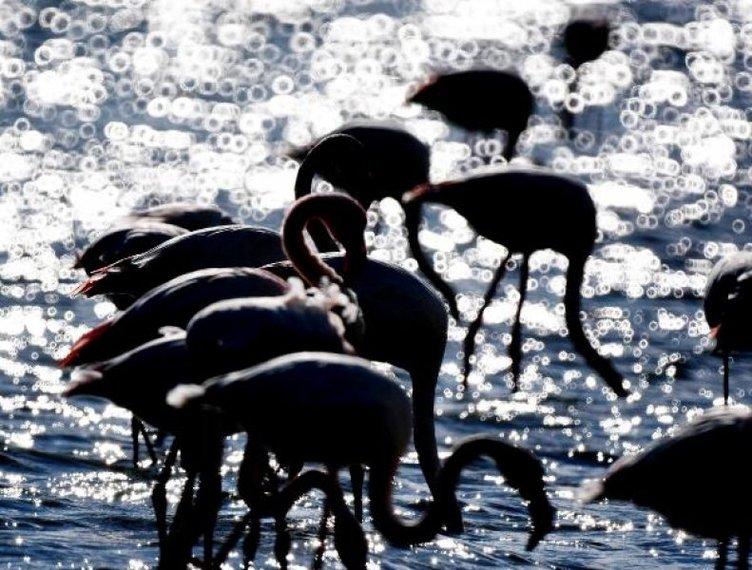 Soğuk havalardan kaçan flamingolar Milas'ta toplandı