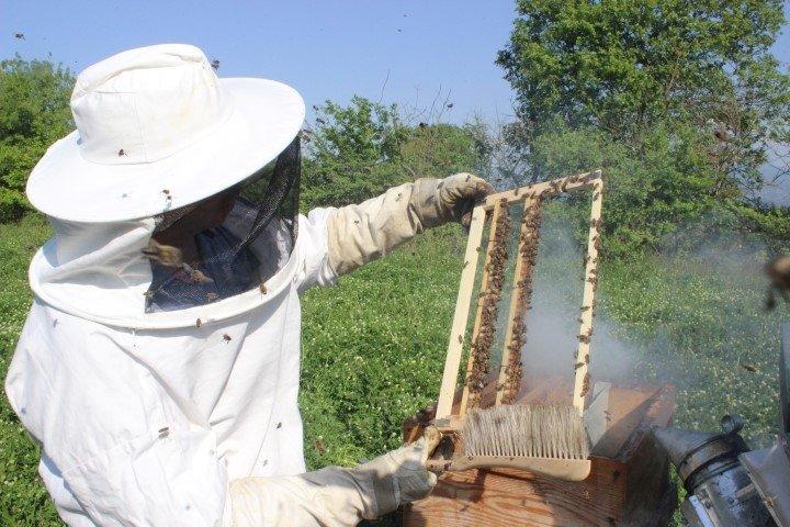 Kilosu 4 bin liradan satılan arı sütünün hasadı başladı