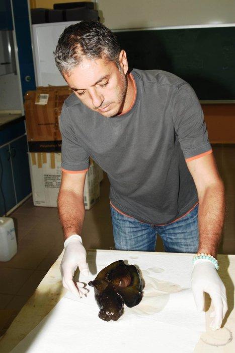 Çanakkale'de ilk kez görülen deniz tavşanı öldü