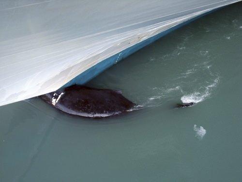 Dev balina gemiye takıldı