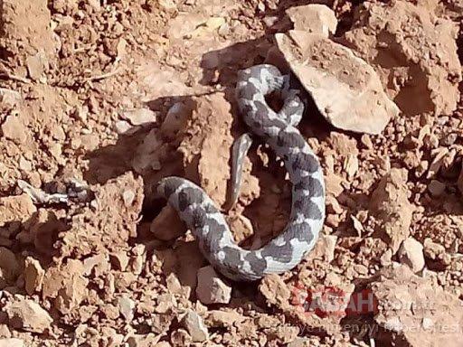 Kedilerin saldırısına uğrayan Şeritli Engerek yılanının canını itfaiyeciler kurtardı