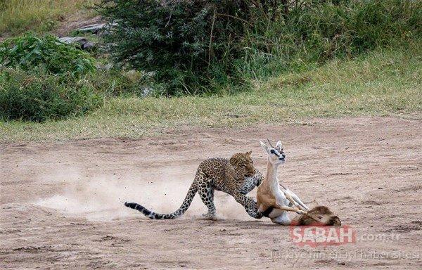 Vahşi doğada leoparın kan donduran avı