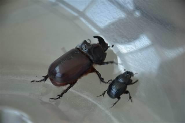 Yurttan gergedan böceği görüntüleri