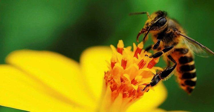 Arı sokmasına ne iyi gelir, nasıl geçer? Arı sokması şişliği ne kadar zamanda, kaç günde iner?