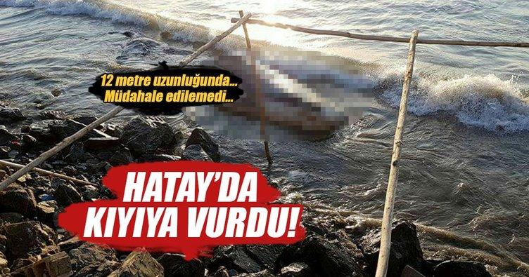 12 metrelik dev Hatay'da kıyıya vurdu