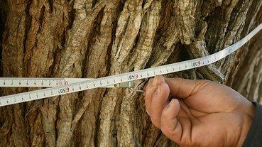 Dünyanın en yaşlı armut ağacı Artvin'de