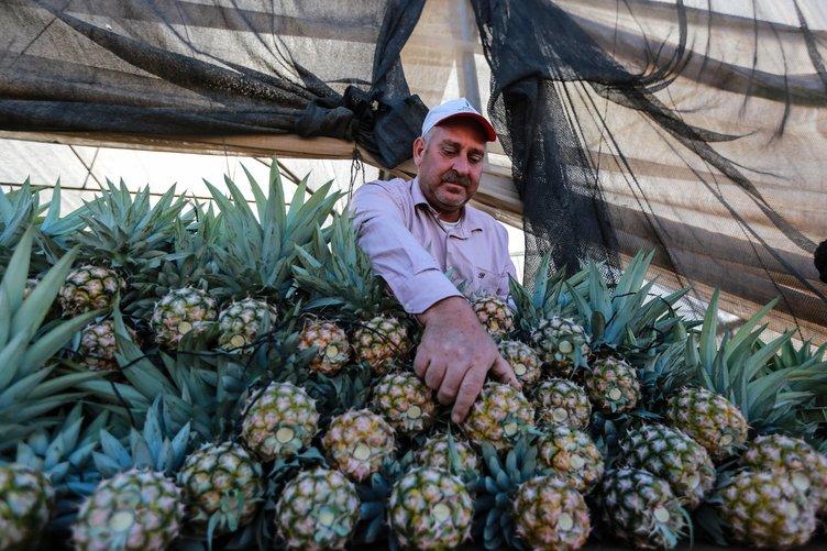 Gazze'de ilk kez ananas üretildi