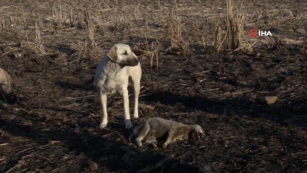 SON DAKİKA: Edirne'de kan donduran vahşet görüntüleri! Yavru köpekleri alev alev yaktılar   Video