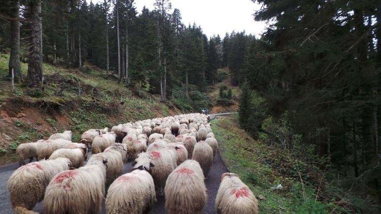 4 bin TL maaşla çoban aranıyor!