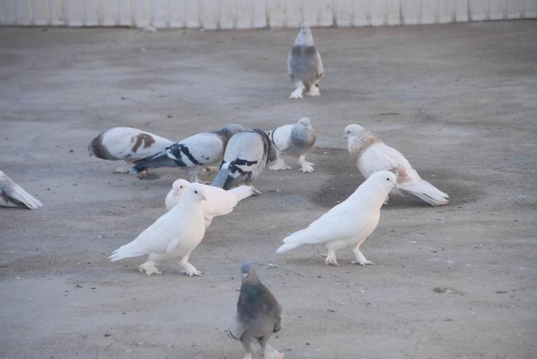 Türkiye'de bir ilk: Güvercinler için otel!