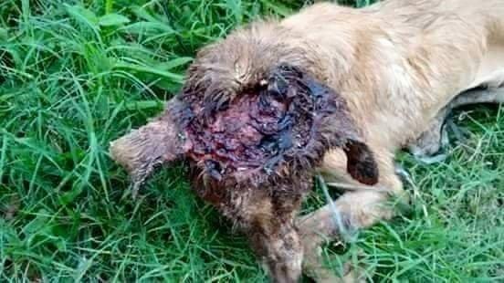 Kafası parçalanmış köpeği iyileştiren adam rekor kırıyor