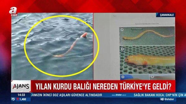 Türkiye'de ilk defa görüntülendi! ÇanakkaleBoğazı'nda görenleri şaşkına çeviren  'Yılan kurdu balığı' kamerada...   Video