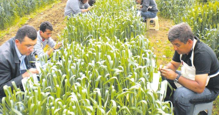 Milli buğday tohumu asiya resmen satışta
