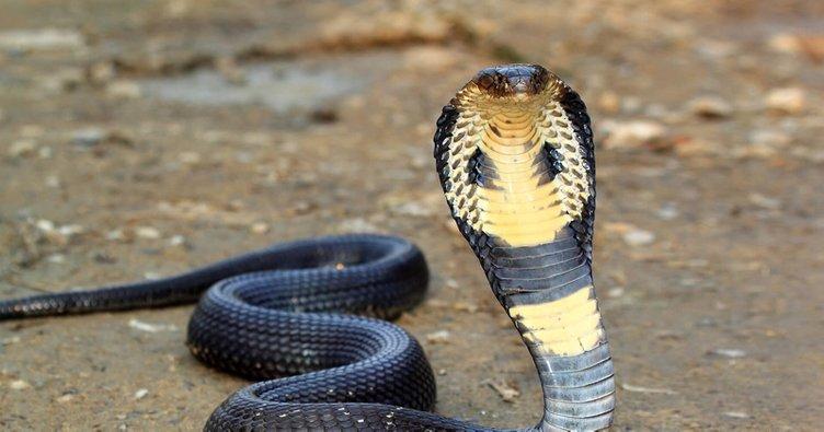 Hindistan'da akılalmaz olay! Kobrayı kiralama nedeni…