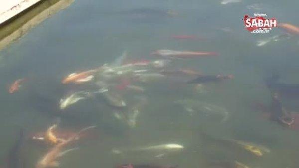 Domatesten istediği parayı kazanamayınca serada süs balığı üretmeye başladı | Video