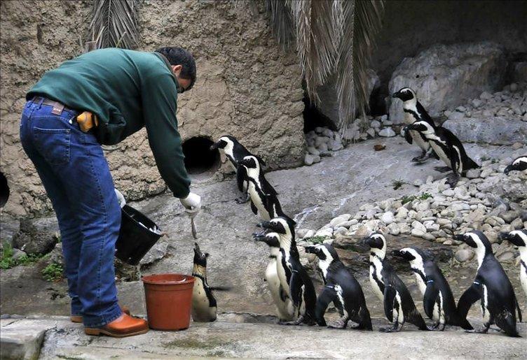 Afrika penguen ailesi genişliyor