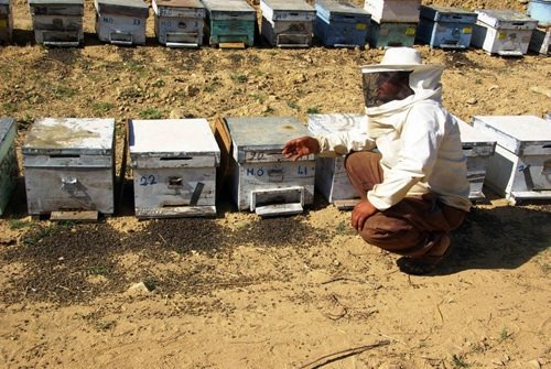 Arıların ölüm nedeni ortaya çıktı