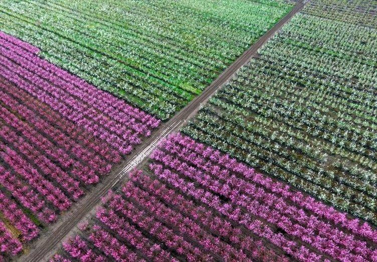 Amik Ovası'nda renk cümbüşü