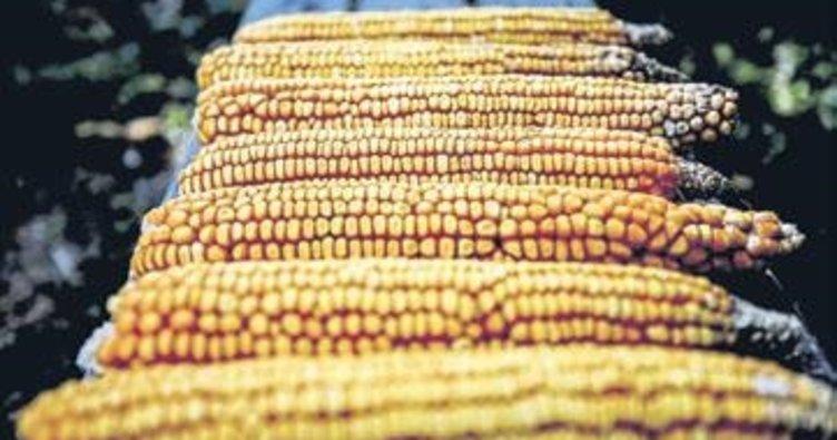 Pehlivan mısır tescil edildi